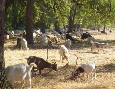 Goats graze in Lower Park, October 2003