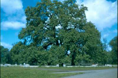Hooker Oak, April 5, 1941 Photo by Vesta Holt